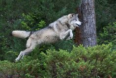 wolf leaping | wolf jumping 2 | Flickr - Photo Sharing!