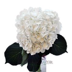 Giant Pure White Hydrangea Flower | FiftyFlowers.com - 8 stems for $79.99