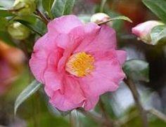Camellia japonica 'Barbara Colbert' (U.S., 1964)