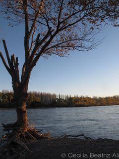 Balneario La Herradura, Plottier, provincia de Neuquén, Argentina. Las raíces de un árbol que se dividen entre el suelo de ripio y la suspensión sobre las aguas del Río Limay.