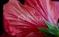 Red Hibiscus Flower This stock photo of Red Hibiscus Flower shot from behind the flower. Photographed by Michael P Moriarty was uploaded by photographer msqrd2 on 21 March 2014.