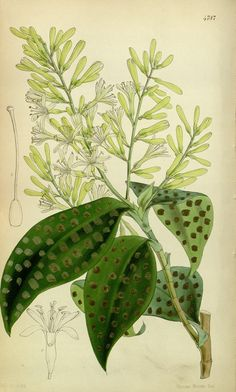 v.80 [ser.3:v.10] (1854) - Curtis's botanical magazine. - Biodiversity Heritage Library