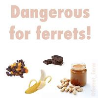 Ferret Farm: Human foods are dangerous!