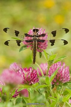 dragonfly resting on-red clover flower