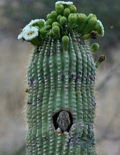 Cactus burrowing owl