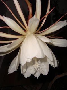 The Night Blooming Cereus is one of nature's wonders. Once a year from a humble looking cactus like plant arises a bud which blooms at night to an exquisite flower the size of a grapefruit, emitting an overwhelming perfume, and then dies within hours. (Photo by Wm D'Alessandro.)
