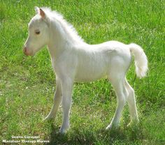 Born on the same day and almost the same time as the new prince in England, this solid white colt is only 14 inches tall. Both parents are LWO neg. Gentle Carousel Miniature Therapy Horses —  What would you name this little guy?  I think Regal Beauty fits him.