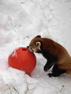 Red panda at play.