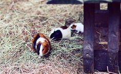 Guinea Pigs having some fun together