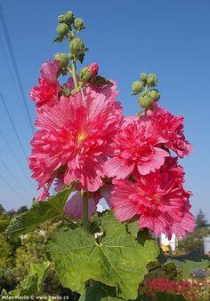 Flowers Nature, Exotic Flowers, Amazing Flowers, Beautiful Roses, Pink Flowers, Growing Hollyhocks, Hollyhocks Flowers, Amazing Gardens, Beautiful Gardens