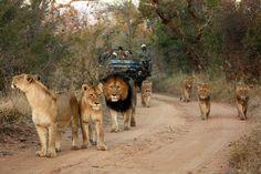 Morning Pride - Simon Riekert #safari
