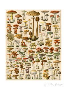 Varieties of Mushrooms ジクレープリント