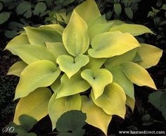 Hosta 'May' - Love them