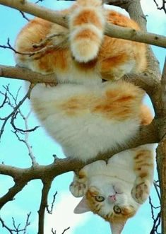 Howya doin down there? Click the Photo For More Adorable and Cute Cat Videos and Photos Howya doin down there? Click the Photo For More Adorable and Cute Cat Videos and Photos Cute Cat Gif, Cute Funny Animals, Funny Cats, Cats Humor, Funny Horses, I Love Cats, Crazy Cats, Cool Cats, Cute Cats And Kittens