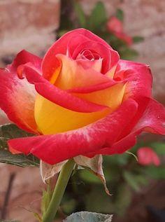 Skull Rose Tattoos, Skull Girl Tattoo, Flower Tattoos, Beautiful Flowers Garden, Beautiful Roses, Sydney Gardens, Sunflower Garden, Rose Pictures, Carnivorous Plants