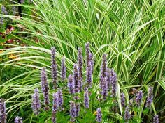 Agastache 'Blue Fortune' with Miscanthus 'Cosmopolitan'; by Freda Cameron at Defining Your Home