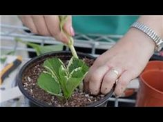 How to Grow Hydrangea from Cuttings - Mental Scoop