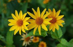 herbstblumen heliopsis helianthoides garten sonnenblume