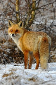 Red Fox, Great Look