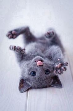 I have wanted a Russian blue cat  forever there so cute!
