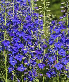 With its ability to thrive in heat and humidity, 'Blue Mirror' is a game-changer. Whether you live in an area with hot, baking summers or cool summers with harsh winters, this is the plant for you. Each vibrant blue petal is accented by a charming purple spot as the flowers rest atop lacy green foliage and face upward as if they are basking in the sun. Its small stature makes 'Blue Mirror' excellent for planting in the front of the border where its striking beauty can truly be admired as...