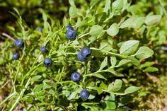 Черника (Bilberry)