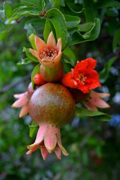 Pomegranate. Fruit Plants, Fruit Garden, Fruit Trees, Fruit Bearing Trees, Pomegranate Art, Vegetable Pictures, Fruit Photography, Beautiful Flowers Wallpapers, Beautiful Fruits