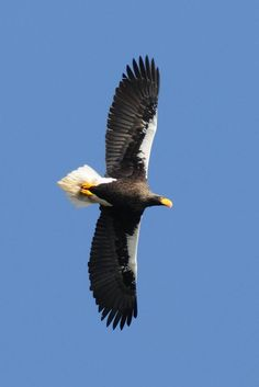 Photo listed in Animal Shot taken with NIKON + 143 shares, 305 likes and 4815 views. Steller's Sea Eagle, Golden Eagle, Birds Of Prey, Raptors, Drawing Tips, Eagles, Bald Eagle, Coast, Creatures