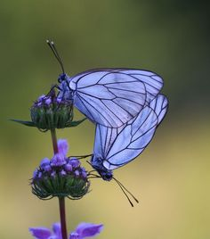 Purple Butterflies & Flowers