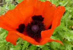 Papaver Orientale 'Brilliant' - 'Brilliant' produces a low clump of coarse leaves, and usually become dormant before disappearing completely by the end of Summer. This boasts vibrant red blooms with an eye-catching black centre.