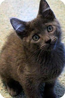HILLSBORO, OR - Domestic Mediumhair. Meet Mercury, a kitten for adoption. http://www.adoptapet.com/pet/13375142-hillsboro-oregon-kitten
