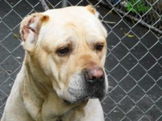 NICO is an adoptable Cane Corso Mastiff Dog in New York, NY. A volunteer writes: Nico was left abandoned in his backyard by his owner......He is a big dog with a sad face.... Neighbours say that he is...