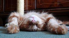 fuzzy upsidown sleeping cat