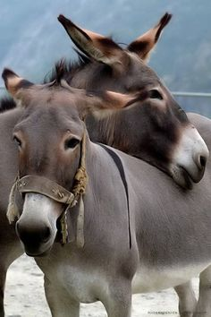 They bond for life~ very lovably humble equine indeed! it also crosses over to a Human, been loved by a mule in my life.. priceless