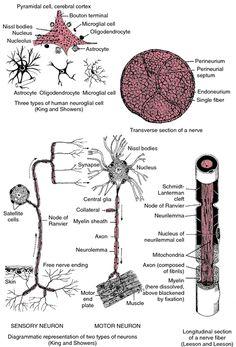 A bundle of nerves   definition of a bundle of nerves by Medical dictionary