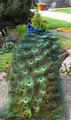 Peacock feathers by janined, via Flickr