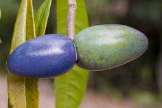Cerbera floribunda fruit 2265  Cerbera floribunda ; Apocynaceae ; Common name - Cassowary Plum. Large fruit are eaten by Cassowariesbeautiful colors!