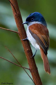 Mascarene Paradise-flycatcher (Terpsiphone bourbonnensis)
