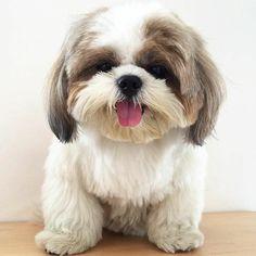 More About Fun Shih Tzu Puppies Grooming Cute Baby Dogs, Cute Dogs And Puppies, Cute Baby Animals, Animals And Pets, Doggies, Baby Shih Tzu, Shih Tzu Puppy, Shih Tzus, Perro Shih Tzu