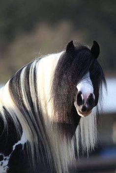Black & white Gypsy Cobb - from ridiculously gorgeous equines