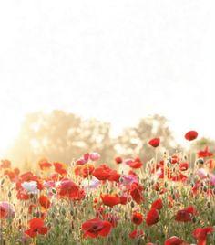 poppy field (Martha Stewart Living May 2011)