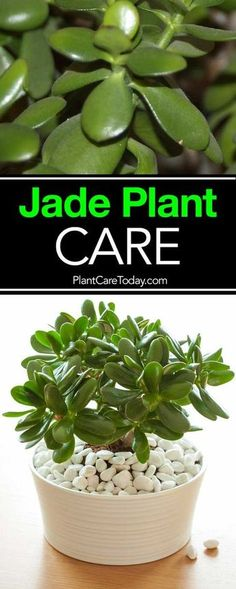 succulent garden care How To Care For and Grow The Jade Plant: Video The jade plant, care for these small, sturdy succulents is simple and the Crassula (real name) is a great beginner houseplant, along with the spider plant. Crassula Succulent, Succulent Gardening, Succulent Care, Cacti And Succulents, Planting Succulents, Planting Flowers, Jade Succulent, Cacti Garden, Crassula Ovata