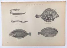 Fish, Antique Plate of Anacanthini, Antique Print, 19th Century Black and White Picture, Beach House Decor, Home Decor by PeonyandThistlePaper on Etsy https://www.etsy.com/listing/158736693/fish-antique-plate-of-anacanthini
