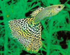 Neon cobra guppy.. looks just like mine!