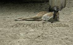 Lazy Kangaroo Kangaroo, Lazy, Animals, Baby Bjorn, Animales, Animaux, Animal, Animais