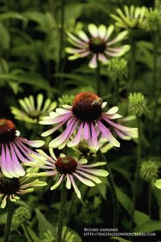 Eastern Purple Coneflower Echinacea purpurea ' Green Envy ' (ek-in-AY-shee-a) It is fitting this photo came out with a strange colorcast b. Olives, Garden Oasis, Home And Garden, Border Plants, Special Flowers, Botany, Hydrangea, Shrubs, Perennials