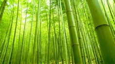 Have you been referring to bamboo as a tree? Well, you are highly mistaken. Giant bamboos are the largest members of the grass family.  #isbambooatreeoragrass #isbamboograssortree #bambootree #bamboograss