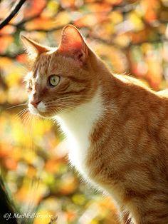 October Ginger Cat (Mr. Pumpkin Pie)
