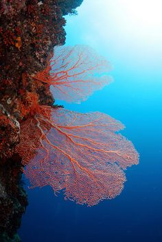 Coral reef with sea fans Fan Coral, Life Under The Sea, Beneath The Sea, Soft Corals, Underwater Life, Ocean Creatures, Orcas, To Infinity And Beyond, Sea And Ocean