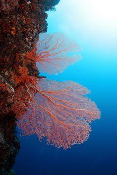 fan corals